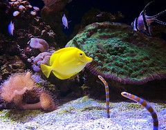 Yellow Tang (Alveena_K) Tags: blue nature sanfrancisco california beautiful sealife sea yellowtang underwater