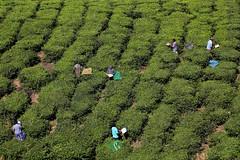 Tea pickers, Munnar, Kerala, India. (nick taz) Tags: tea plantation pickers workers kerala munnar india