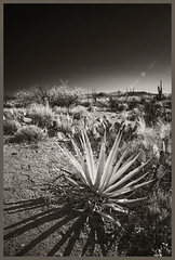 Sabino Canyon IR #13 2018; Wild Agave (hamsiksa) Tags: arizona tucson pimacounty sonorandesert santacatalinamountains coronadonationalforest blackwhite infrared digitalinfrared scenic landscape desertscape plants flora desertplants xerophytes succulents agavaceae agaves cacti cactacea opuntia cholla saguaros