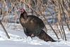 (PaulPagéPhotos) Tags: d500 wildturkeys wildlife birds turkeys nature