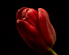 Single Red Tulip 1127 (Tjerger) Tags: nature beauty black blackbackground bloom blooming closeup fall flora floral flower green macro plant portrait red single tulip white wisconsin beautiul natural