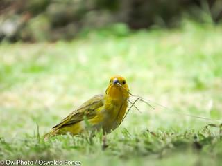 Saffron Finch_OWIphoto-3382.jpg