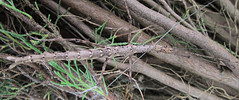 Perfect Camouflage (Mary Faith.) Tags: camouflage stick insect small brown conifer macro