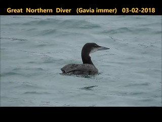 Great northern Diver (Gavia immer)
