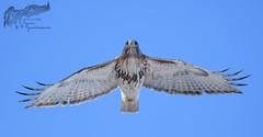 George Jr. 2_19 (krisinct- Thanks for 15 Million views!) Tags: nikon d500 300 f28 dii 14x red tail hawk