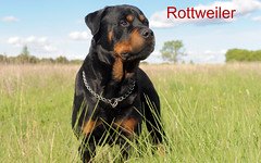 rottweiler (pet4sell) Tags: dog rottweiler pet animal purebred pedigree canine one outdoors collar guarddog cute black beautiful nature head looking nose expression field meadow grass france
