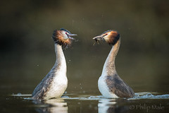 ... The Dating Game ... (Grandpops Woodlice) Tags: grebe greatcrestedgrebe dating peatmoor peatmoorlake wiltshire beauty verymoving