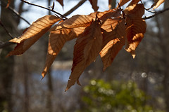 Sunlight through Beech Leaves (brucetopher) Tags: leaf leaves sunlight dry curled warm warmth winter cold light orange brown glow backlight backlit