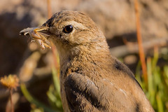 Rufous-banded Miner (JohnReynolds2012) Tags: 2018 birds chile animals wildlife bird farellones regiónmetropolitana cl