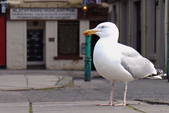 . in the streets of inverness (Ruinenstaat) Tags: tumraneedi ruinenstaat silbermöve möve seagull larusargentatus europeanherringgull travel inverness scotland schottland gb uk bird vogel portrait