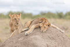 Lions on Termite Mound - Panthera leo (rosebudl1959) Tags: 2017 kenya masaimara zebraplains lions