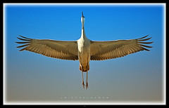 Vitruvian Antigone (J Michael Hamon) Tags: sandhillcrane crane bird animal wildlife nature outdoor vignette photoborder hamon nikon d3200 nikkor 55300mm indiana jacksoncounty sandhill