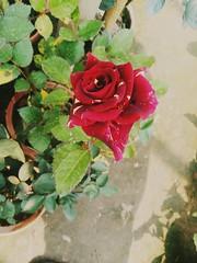 A Beautiful Rose......... (argharaha123456) Tags: rose love beautiful nature explore backgrounds photography