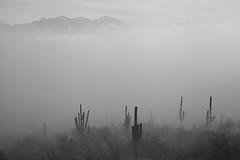 Tum012_small (patcaribou) Tags: tucson tumamochill sonorandesert fog cactii saguarocactus