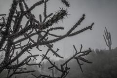 Tum09_small (patcaribou) Tags: tucson tumamochill sonorandesert fog cactii saguarocactus