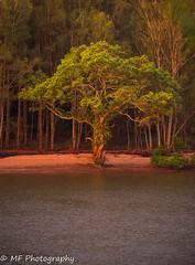 Wonnie tree (Mick Fletoridis) Tags: landscape river australia sunset sydney sonyimages trees water