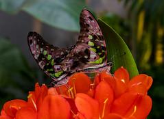 Papillons en liberté (MichelGuérin) Tags: canada intérieur jardinbotaniquedemontréal lightroomcc michelguérin nature nikon nikond500 papillonsenliberté papillonsenliberté2017 portequeuegeai qc tailedjay tamronsp1530mm tamronsp1530mmf2 tousdroitsréservésallrightsreserved butterfly insectpollinationbyanimals © montréal québec ca
