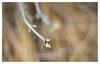 Buds _ 2 (leo.roos) Tags: buds knoppen twoudt middendelfland a7rii meyerprimoplan5819 exakta 1954 darosa leoroos