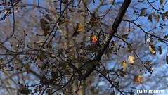 A few left (rumimume) Tags: potd rumimume 2017 niagara ontario canada photo canon 80d sigma fall autumn leaves tree sky