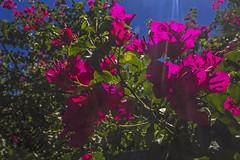 Caricias del sol (Wal Wsg) Tags: cariciasdelsol rayosdelsol flores flowers flor flower floresflowers flora naturaleza nature natural naturale natura dia day canoneosrebelt3 phwalwsg 7dwf 7dwfflora argentina argentinabsas buenosaires caba ciudadautonoma ciudaddebuenosaires capitalfederal villacrespo parquecentenario