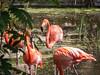 Flamingo (KARLINHOS18) Tags: flamenco flamingo birds aves fotos fotografosvenezolanos fotografia photo photography carloscolmenarezphotography flickr pink barquisimeto venezuela