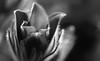 Warming Light (AnyMotion) Tags: meteorologicalbeginningofspring meteorologischerfrühlingsanfang easterflower windflower prairiecrocus meadowanemone pasqueflower kuhschelle küchenschelle pulsatillavulgaris blossom blüte opening floral flowers plant pflanze 2017 anymotion nature natur botanicalgarden botanischergarten plants pflanzen bokeh macro makro frankfurt 7d2 canoneos7dmarkii blackandwhite bw sw hmbt makroaufnahmen spring frühling primavera printemps