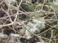 Cold Blue tits in my Garden (The Original Happy Snapper) Tags: snow garden bluetit bird house gardens cold winter spring flakes thereisnoplacelikehome