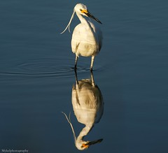 Who's that handsome boy... (Mykel46) Tags: little egret birds nature sony a9 100400mm