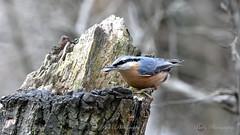 Sittelle_5105 (Bob_Reinert) Tags: nuthatch faune nature nikon hiver oiseaux birds alsace paysage landscape d500