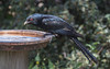 Eastern Koel  (Eudynamys orientalis)-6147 (rawshorty) Tags: rawshorty birds canberra australia act symonston