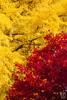 IMG_9721 (Matthew_Li) Tags: red leaf japan maple leaves
