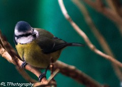 Blue Tit contemplates a branch (endangeredspecys) Tags: garden birds