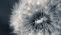 radiant repro (Simon[L]) Tags: radiance dandelion macro seedhead bokeh hmbt trioplan50mmf29 meyer soft feathery