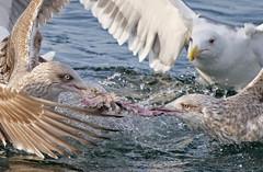 Struggle for life (Arnt Kvinnesland) Tags: herringgull greatblackbackedgull seagulls struggle fisk seabirds outdoor wildlife måker gråmåker svartbak sjøfugler sjø kyst februar vinter skudeneshavn karmøy norway
