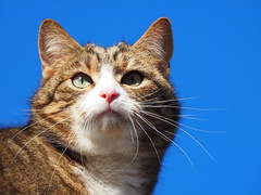 Blue...With Salyx (Céanndhubahn) Tags: swscotland scotland pinknose thelook stare bluesky blue salyx cat'seyes cat