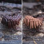 Stemonitis slime mold over the last week thumbnail