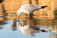 Me? (GavinZ) Tags: california sandiego tourmaline usa beach pacificbeach shore sunset bird animal nature reflection water