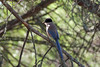 IberianAzureWingedMagpie_With_Larvae (hawaza) Tags: bird birds tree magpie azurewingedmagpie iberianazurewingedmagpie larvae pinetree riaformosa algarve portugal