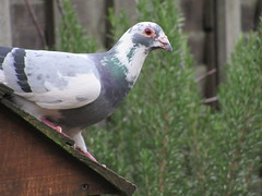 Monday, 22nd, Half and half IMG_2188 (tomylees) Tags: essex morning winter january 2018 22nd monday garden pigeon white