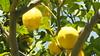 que me gusta mi tierra (isabella2773) Tags: limon limonero mitierra malaga campo