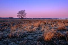 Ginkelse Heide (Mario Visser) Tags: xt2 ede fujifilm ginkelseheide mariovisser morning netherlands pastel sun sunlight tree veluwe cold winter light foreground heather purple gelderland
