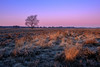 Ginkelse Heide (Mario Visser) Tags: xt2 ede fujifilm ginkelseheide mariovisser morning netherlands pastel sun sunlight tree veluwe cold winter light foreground heather purple gelderland