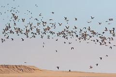 Gulls Galore (Roy Lowry) Tags: riaformosa praiadefaro isladeserta lesserblackbackedgull yellowleggedgull audouinsgull flightshot faro