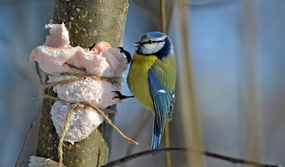 Blue tit. Lunch for Blue Tit and other birds. Winter, Finland