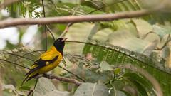 DSC_1524.jpg (naser7363) Tags: blackheadedoriole birds