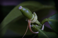 Lemon on the Way (brucetopher) Tags: lemon plant tropical green bloom growing grow