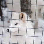 Renards arctiques et captivité thumbnail