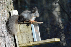 A Red Squirrel that is grey in colour. (E P Rogers) Tags: sciurusvulgaris redsquirrel feeder box llynparcmawr anglsey newboroughforest ears tufts tail grey variation