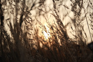 sunset through grass