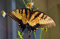Tiger Swallowtail (Larah McElroy) Tags: photograph photography picture pictures larah mcelroy larahmcelroy bug bugs insect insects butterfly butterflies macro swallowtail swallowtails tigerswallowtail tigerswallowtails tigerswallowtailbutterfly
